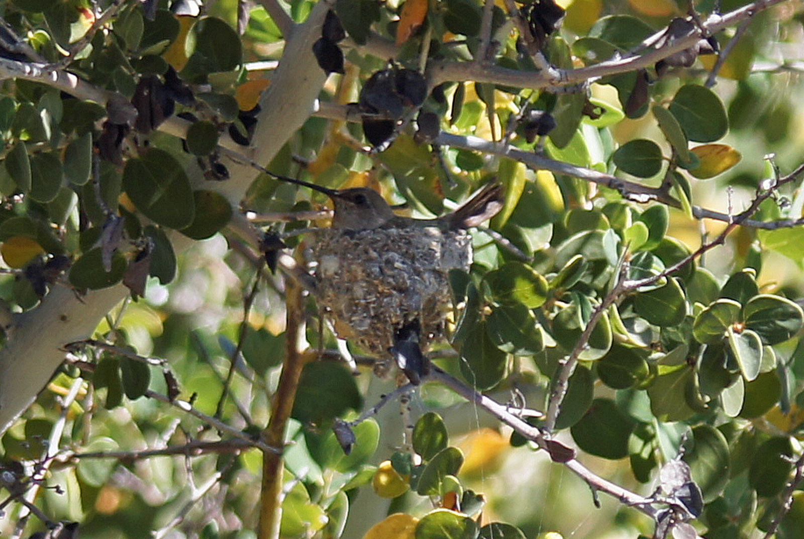 Costa's Hummingsbird on Nest